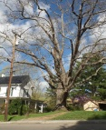 """The Shanks Oak is said to be """"Jonesborough's oldest resident,"""" and is estimated to be between 500 and 800 years old."""