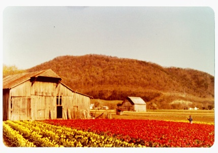 Tulip fields 5