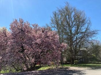 Saucer Magnolia - Spring 2021